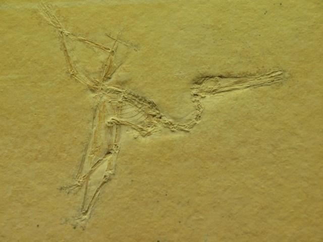Pterodactylus Jungtier
