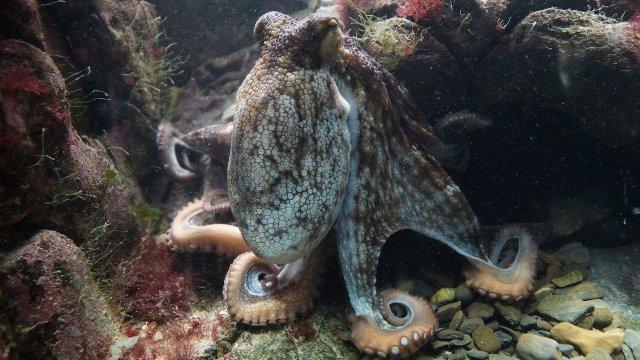 Gemeiner Oktopus
