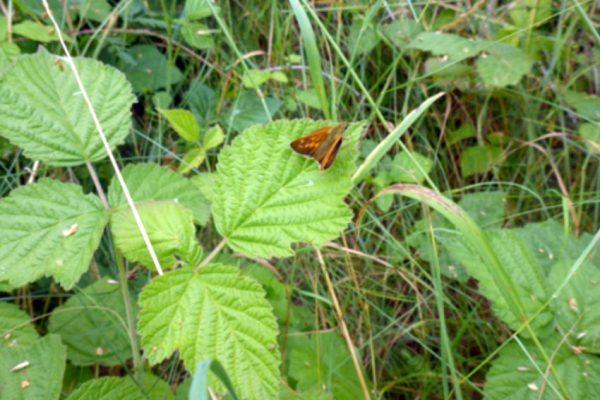 Kratzbeere (Rubus caesius L.)