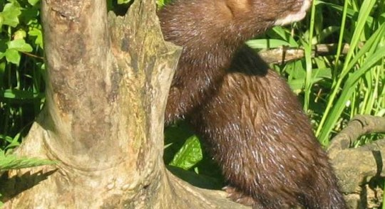Minks and the COVID-19 Outbreak: Know the facts