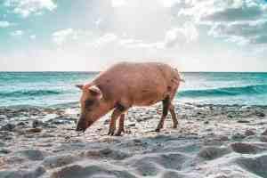 Durch Massentierhaltung fallen Millionen Tonnen Gülle an. Ein Schwein am Strand von Curaçao. (Foto: Bruno van-der Kraan, Unsplash.com)