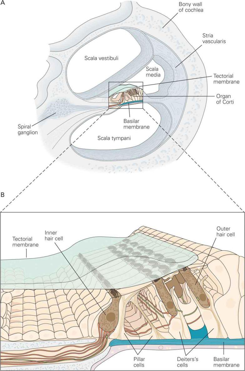 the outer hair cells are supported at their bases by the deiters's  (phalangeal) cells