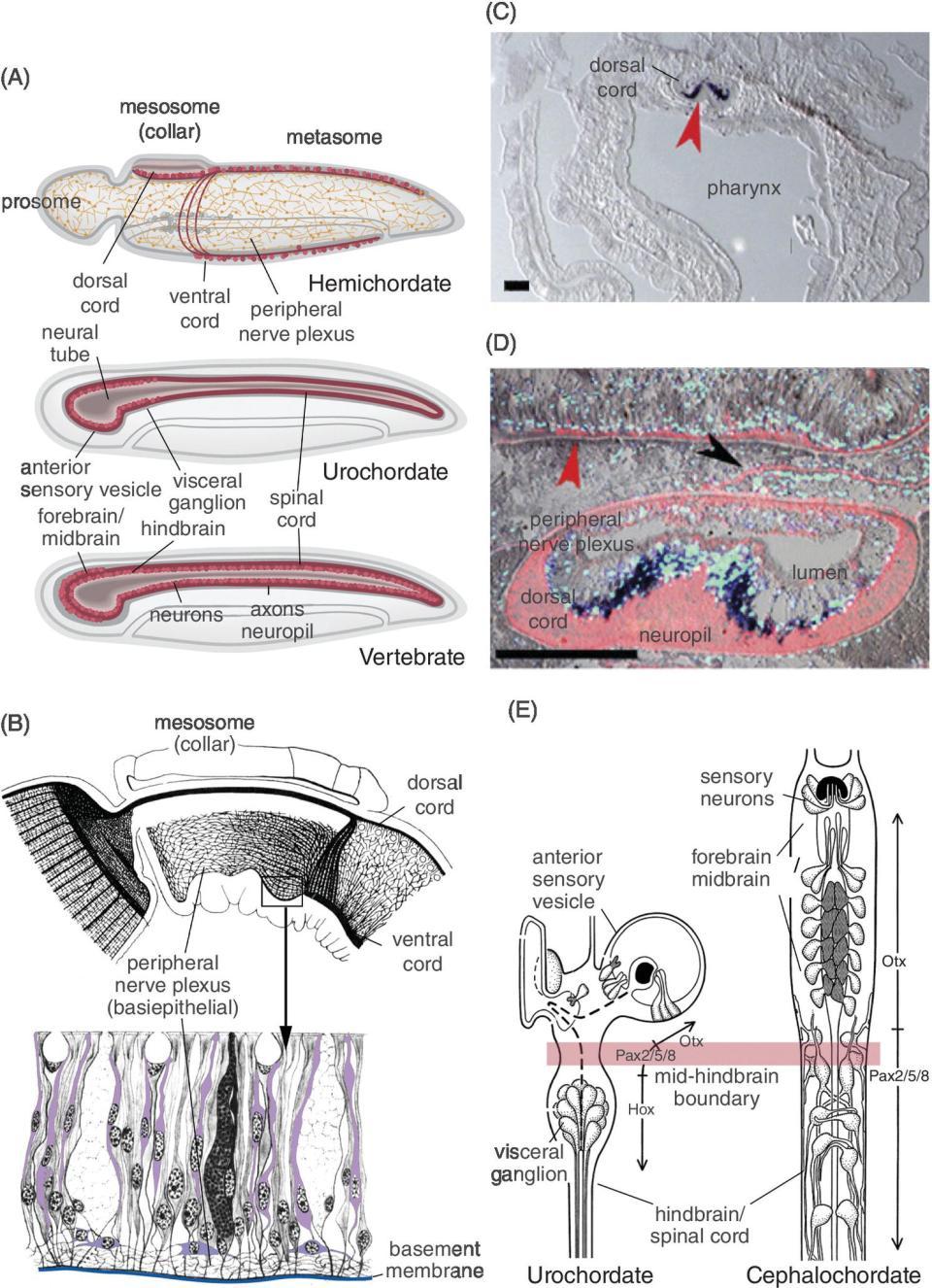 Groß Katze Anatomie Diagramm Bilder - Menschliche Anatomie Bilder ...
