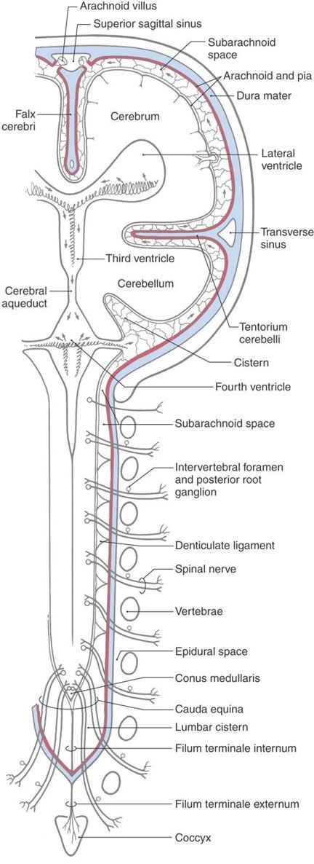 The Meninges Neupsy Key Neuroscience info for anyone with a brain. the meninges neupsy key