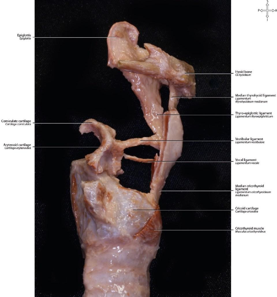 16 Larynx Neupsy Key