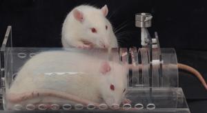 A white rat studies a plastic tube containing an imprisoned fellow rat