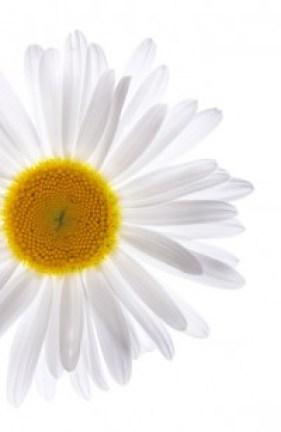 Beautiful daisy on isolated white background