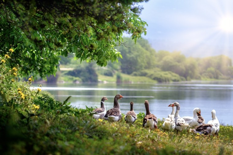 wild-geese-3379677_960_720