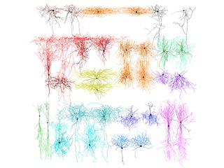Wiring rules untangle brain circuitry