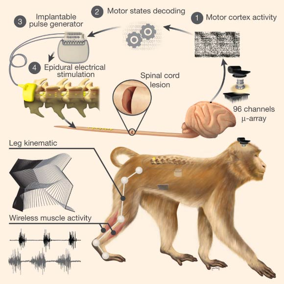 Neuroscientists Restore Leg Movement in Nonhuman Primates