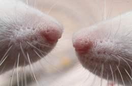 sensory-rat-whiskers