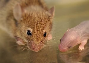A mouse and a mouse pup are shown.