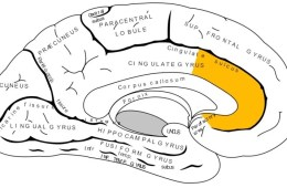 The illustration shows a brain which is labeled and has the anterior cingulate highlighted in yellow.
