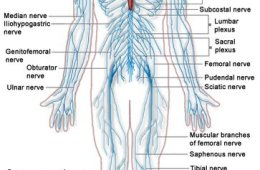 The image is a diagram of the nervous system. The Peripheral nervous system is outlined in blue.