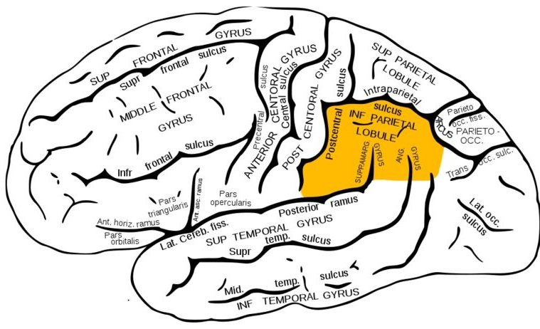 The brain diagram highlights the inferior parietal cortex in orange.