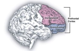This is a diagram of the prefronal cortex.