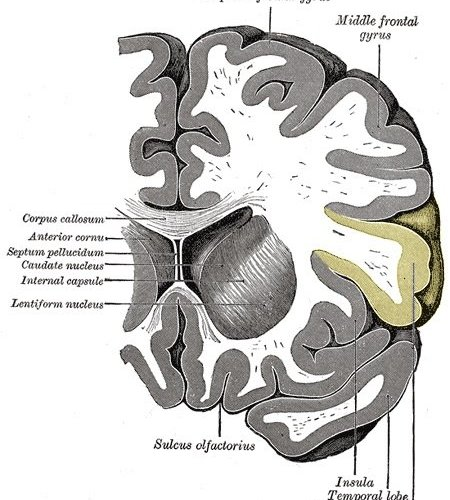 The inferior frontal gyrus is highlighted in yellow in this brain image.