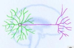 The image shows an illustration of a neuron. The caption best describes the image.