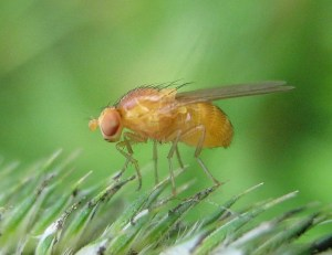 This is an image of a Drosophila melanogaster fruit fly.