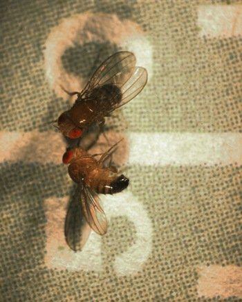 The image shows two fruit flies.