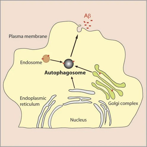 The image shows role of autophagy in Aβ secretion from neurons.