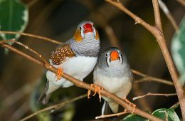 The image shows two zebra finches.