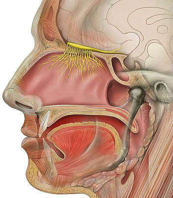This image shows the head and olfactory nerve.