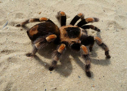 This is a tarantula.