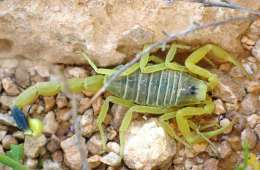 This is a deathstalker scorpion.