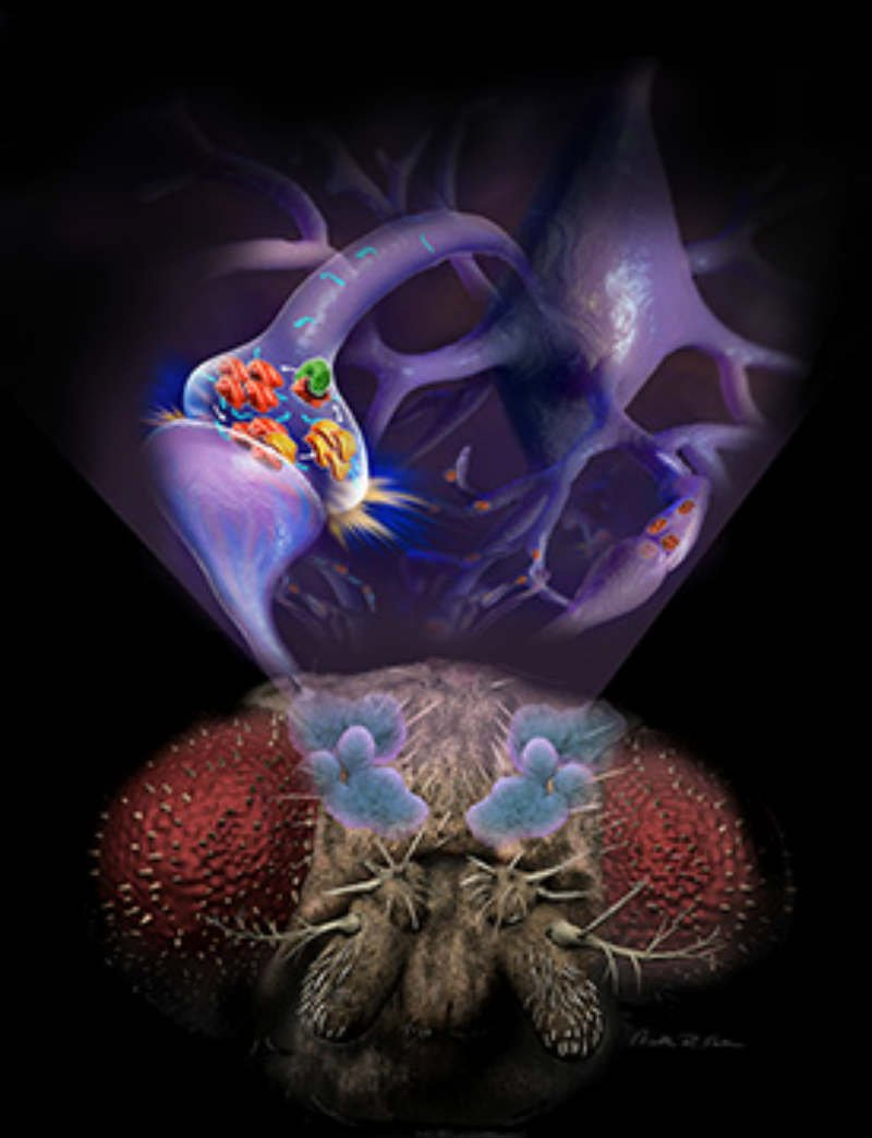 This is an illustration of a fruit fly with neurons above its head.