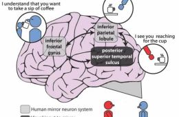 This shows the mirror neuron system in the brain.