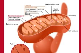 This is a diagram of a mitochondrion.