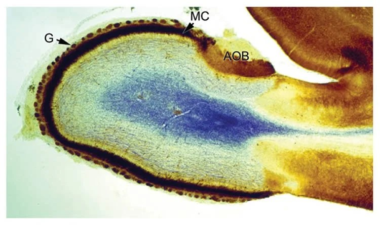 This is a rat's olfactory bulb.