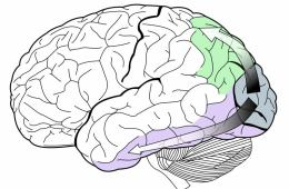 Image showing dorsal stream (green) and ventral stream (purple) in the human brain visual system.