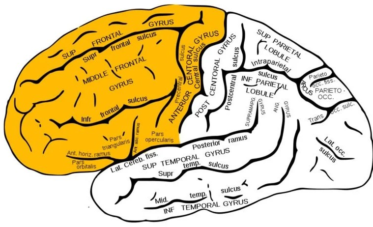 The image a brain with the frontal lobe highlighted in yellow.
