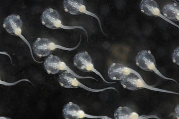 The image shows Xenopus tadpoles.