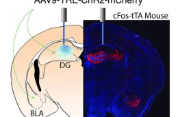 This image shows the injection sites in the dentate gyrus and basolateral amygdala.