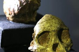 This image is of the Taung child fossil's skull.
