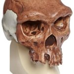3B-Scientific-VP7541-Broken-Hill-or-Kabwe-Anthropological-Skull-Model-8.3-x-6.1-x-9.3-0