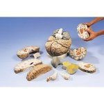AWW-VH409-Giant-Brain-14-Part-2.5-Times-Full-Size-0