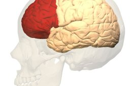 This image shows the location of the prefrontal cortex in the brain.