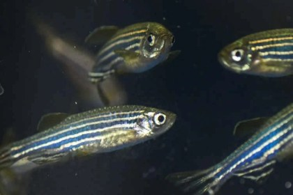 The image is a photograph of zebrafish.