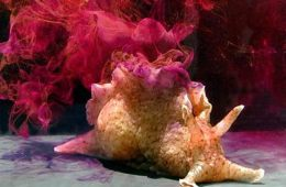 This image shows an Aplysia californica sea snail.