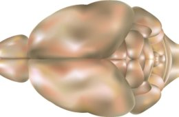 This image shows a top view of a mouse brain.