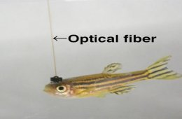 The image shows a zebrafish with optical fiber coming out of its head.