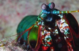 This image shows a mantis shrimp.