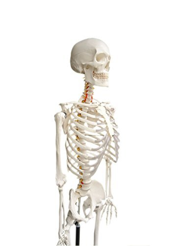 Life-size Medical Anatomical Human Skeleton Model, 170cm, Stand ...