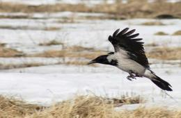 The image shows a crow flying over marshland.