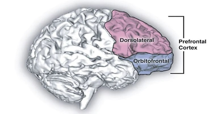 The image is a drawing of the human brain. The prefrontal cortex is highlighted and labeled.