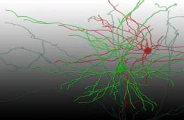 The image is a reconstruction of the synapses connecting to the neurons.
